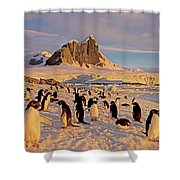 Adelie Penguin, Pygoscelis Adeliae Shower Curtain