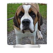 Adorable Saint Bernard Dog Shower Curtain
