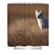 Adult Arctic Fox On The Tundra In Late Shower Curtain