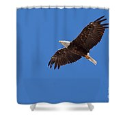 Adult Bald Eagle Soaring Haliaeetus Leucocephalus Shower Curtain