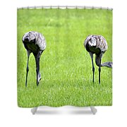 Adult Florida Sandhill Cranes Grus Canadensis Pratensis I Usa Shower Curtain