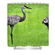 Adult Florida Sandhill Cranes Grus Canadensis Pratensis II Usa Shower Curtain