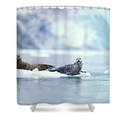 Adult Pacific Harbor Seals On An Ice Shower Curtain
