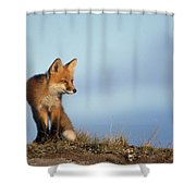 Adult Red Fox On The Tundra In Late Shower Curtain