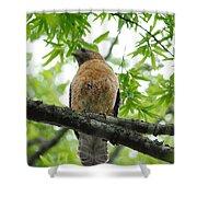 Adult Red Shouldered Hawk Shower Curtain