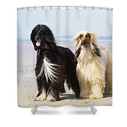 Afghan Hound Dogs Shower Curtain