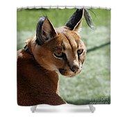 African Caracal Lynx  Shower Curtain
