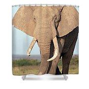 African Elephant Bull Amboseli Shower Curtain