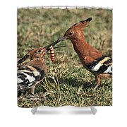 African Hoopoe Feeding Young Shower Curtain