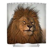 African Lion-animals-image Shower Curtain