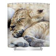 African Lion Cub Sleeping Shower Curtain