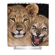 African Lion Cubs One Aint Happy Wldlife Rescue Shower Curtain