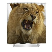 African Lion Male Growling Shower Curtain by San Diego Zoo