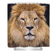 African Lion Male Portrait Shower Curtain