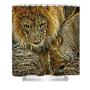 African Lions 6 Shower Curtain