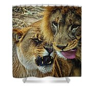 African Lions 7 Shower Curtain