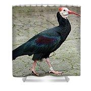Southern Bald Ibis Strutting Around Shower Curtain