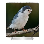 African Pygmy Falcon Shower Curtain