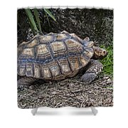African Spurred Tortoise Shower Curtain