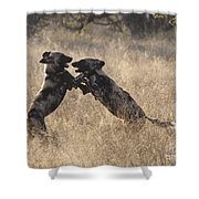 African Wild Dogs Playing Lycaon Pictus Shower Curtain