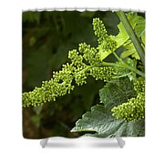 Agriculture - Cluster Of Wine Grape Shower Curtain