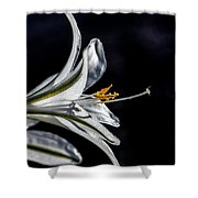 Ajo Lily Close Up Shower Curtain by Robert Bales