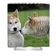 Akita Inu Dogs, Old And Young Shower Curtain