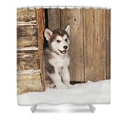Alaskan Malamute Puppy Shower Curtain