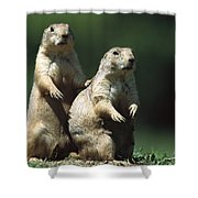 Alert Black-tailed Prairie Dogs Shower Curtain