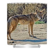 Alert Coyote Shower Curtain