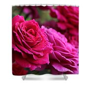 All The Fuchsia Pink Roses  Shower Curtain