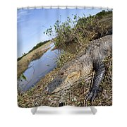 Alligator In Everglades Shower Curtain