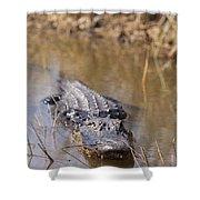 Alligator In Evergrades Shower Curtain