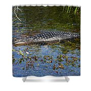 Alligator Swimming In Blue Water Shower Curtain