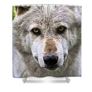 Alpha Male Wolf Shower Curtain
