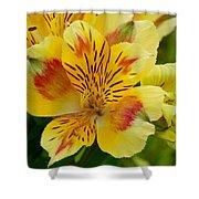 Alstroemerias Flower 1 Shower Curtain