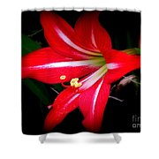Amaryllis . Hippeastrum Species Shower Curtain