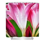 Amaryllis Flowers And Buds In The Rain Shower Curtain