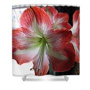 Amaryllis In Bloom Shower Curtain