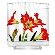Amaryllis On White Shower Curtain