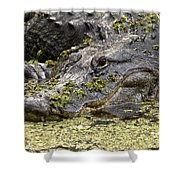 American Alligator Print Shower Curtain