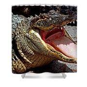 American Alligator Threat Display Shower Curtain