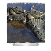 American Alligators In Shallows Florida Shower Curtain