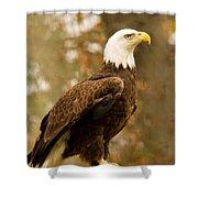 American Bald Eagle Resting Shower Curtain by Douglas Barnett