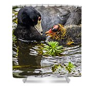 American Coot And Chick Shower Curtain