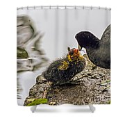 American Coot Feeding Chick Shower Curtain