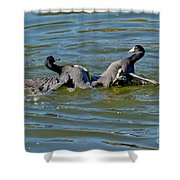 American Coots Fighting Shower Curtain