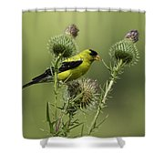 American Goldfinch Eating Thistle Seed Shower Curtain