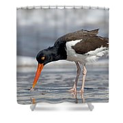 American Oystercatcher Feeding On Clam Shower Curtain