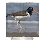 American Oystercatcher On Beach Shower Curtain